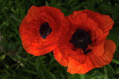 Photograph - Hot Red Poppy Duo by Georgia Mizuleva