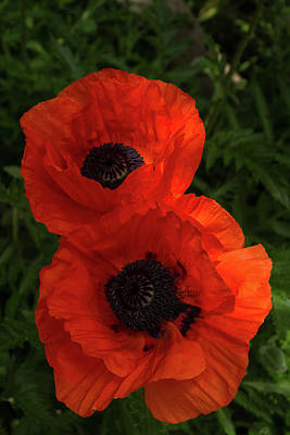 Photograph - Hot Red Poppy Duo - Vertical by Georgia Mizuleva