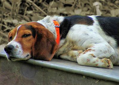 Photograph - Hound Dog by JAMART Photography