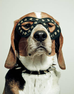 Domestic Animals Photograph - Hound In Black Mask by Darren Boucher