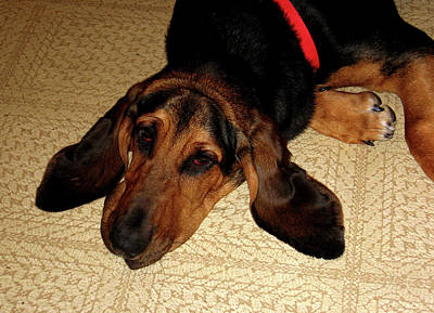 Photograph - Hound Tuckered Out by Marie Jamieson