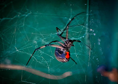 Black Widow Spider Photograph - Hour Glass Of Death by DigiArt Diaries by Vicky B Fuller