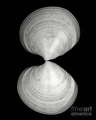 Photograph - Hourglass Shells by Patti Whitten