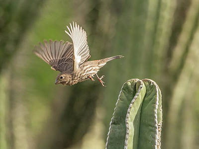 Photograph - House Finch 0573 by Tam Ryan
