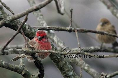 Photograph - House Finch 0722 by Captain Debbie Ritter