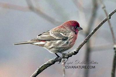 Photograph - House Finch 0726 by Captain Debbie Ritter