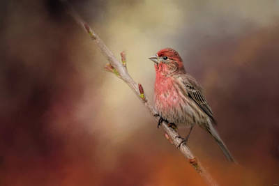 Photograph - House Finch And New Blooms by Jai Johnson