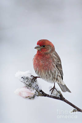Photograph - House Finch And Spring Snowfall - D010346 by Daniel Dempster
