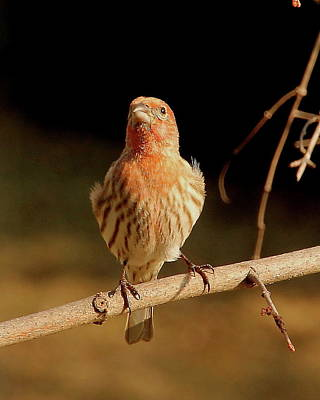 Angie Sabo Photograph - House Finch by Angie Sabo