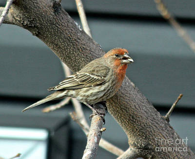 Photograph - House Finch by Ann E Robson