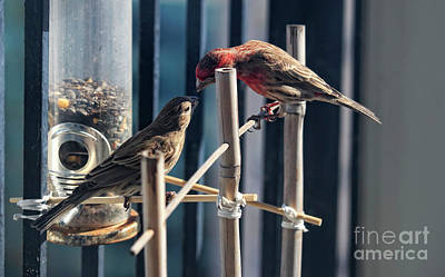 Photograph - House Finch Breeding Pair by Charline Xia