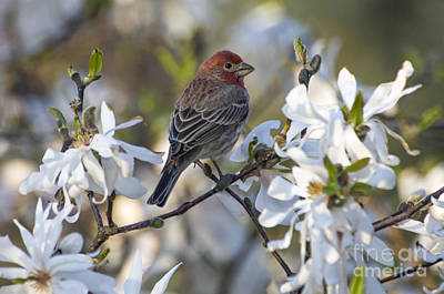 Photograph - House Finch - D009905 by Daniel Dempster