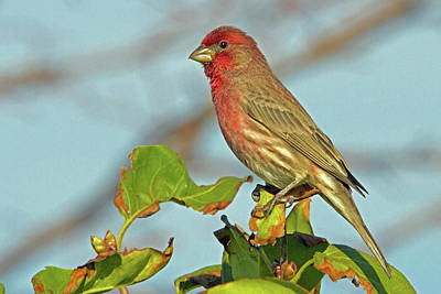 Photograph - House Finch by David Freuthal