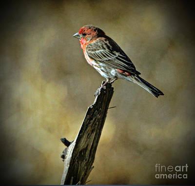 Photograph - House Finch by Elizabeth Winter