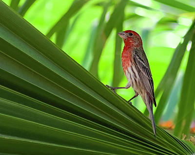 Photograph - House Finch H09 by Mark Myhaver