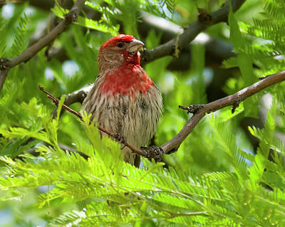 Photograph - House Finch H36 by Mark Myhaver