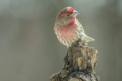 Photograph - House Finch Img 1 by Bruce Pritchett