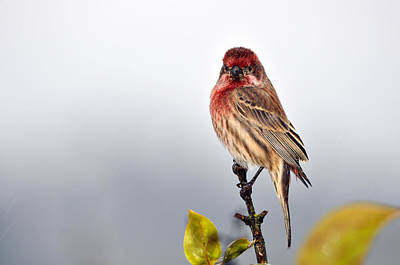 House Finch In Autumn Rain Art Print by Laura Mountainspring