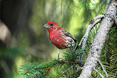 Photograph - House Finch In Summer Color by Debbie Oppermann