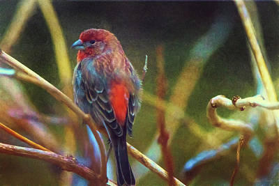 Photograph - House Finch by John Rivera
