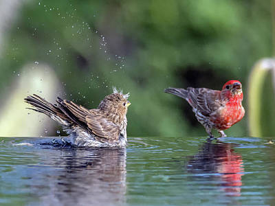 Photograph - House Finch Juvenile And Adult by Tam Ryan