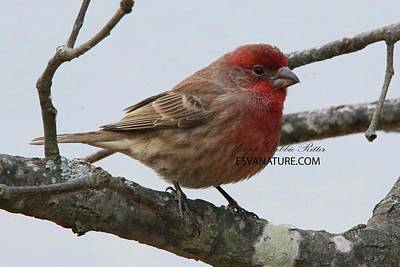 Photograph - House Finch Male 5670 by Captain Debbie Ritter