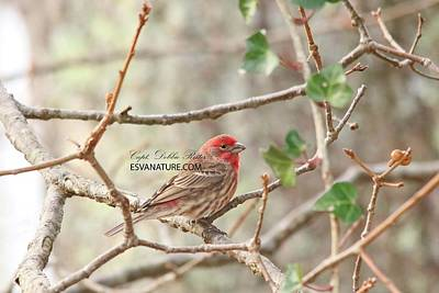 Photograph - House Finch Male 5674 by Captain Debbie Ritter