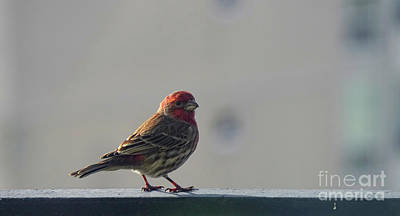 Photograph - House Finch Male Bird by Charline Xia