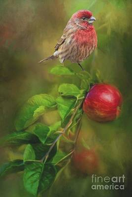 Photograph - House Finch On Apple Branch 2 by Janette Boyd