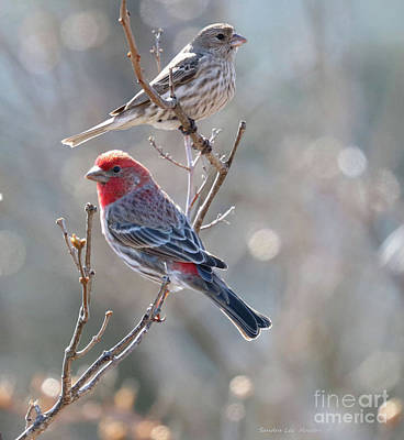 Photograph - House Finch Pair by Sandra Huston
