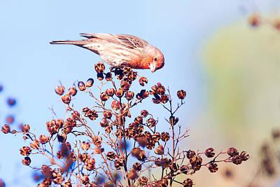 Photograph - House Finch by Ram Vasudev