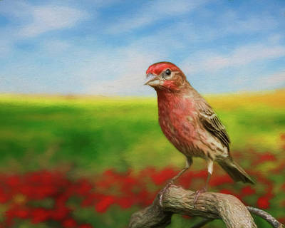 Photograph - House Finch by Steven Richardson