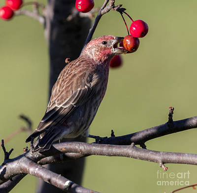 Photograph - House Finch Vs Crabapple  by Ricky L Jones