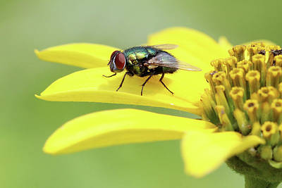 Photograph - House Fly Stony Brook New York by Bob Savage