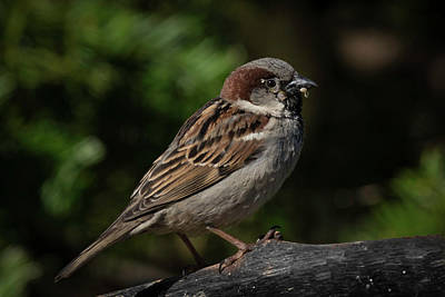 House Sparrow 2 Art Print