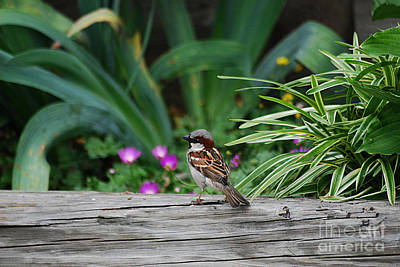 Photograph - House Sparrow 20130521_79 by Tina Hopkins