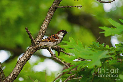 Photograph - House Sparrow Disquise by Jennifer White