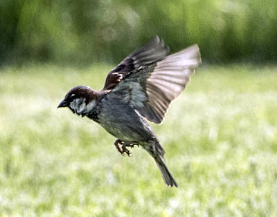 Photograph - House Sparrow Flying by William Bitman
