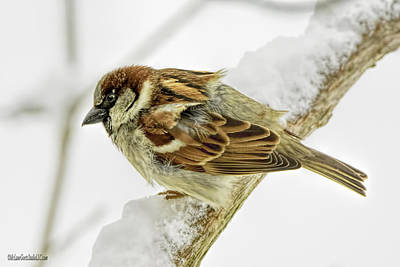 Photograph - House Sparrow by LeeAnn McLaneGoetz McLaneGoetzStudioLLCcom