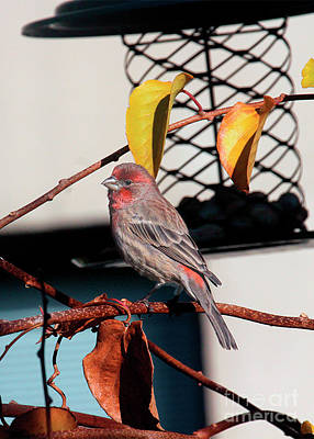 Photograph - Male House Finch Goes Out On A Limb by Patricia Youngquist