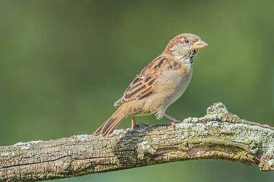 Photograph - House Sparrow Portrait by Bruce Pritchett