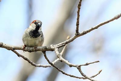 Photograph - House Sparrow Portrait by Joni Eskridge