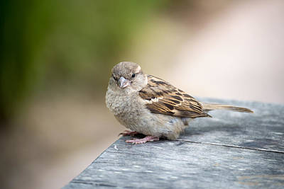 Photograph - House Sparrow by Scott Lyons