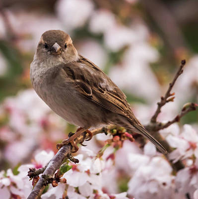 Photograph - House Sparrow Spring Flowers by Terry DeLuco