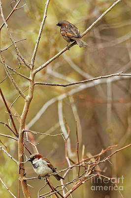 Photograph - House Sparrows by Natural Focal Point Photography