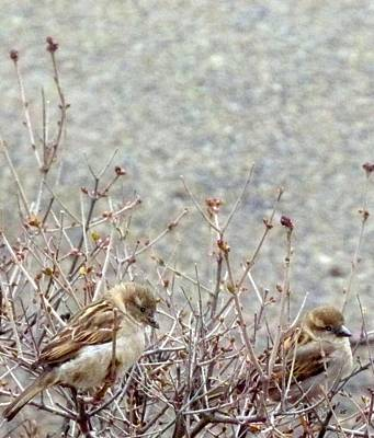 Photograph - House Sparrows by Will Borden