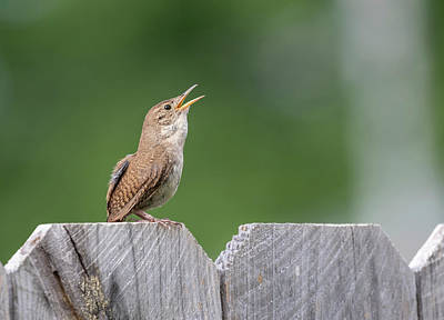 Photograph - House Wren 2018-1 by Thomas Young
