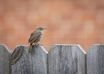 Photograph - House Wren 2018-2 by Thomas Young