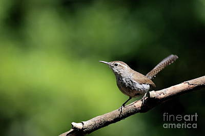 Photograph - House Wren . 40d8055 by Wingsdomain Art and Photography