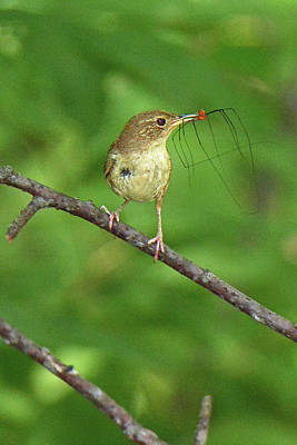Photograph - House Wren Mouthful  by Alan Lenk